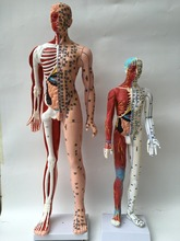85CM ultra-clear human acupuncture model half musculoskeletal model meridian acupuncture model English code type(China)