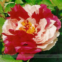 Heirloom 'Er Qiao' White Dark Red Fragrant Peony Tree Flower Seeds, Professional Pack, 5 Seeds / Pack, Beautiful Flower E3204