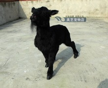simulation cute black sheep 65x58cm toy model polyethylene&furs sheep model home decoration props ,model gift d167
