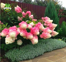 50 Vanilla Strawberry hydrangea Flower Seeds for planting in pot or ground  easy to grow flower seeds as bonsai or tree