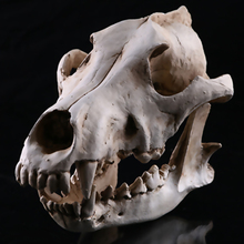 New Hot Realistic Jackal Skull Resin Replica Teaching Skeleton Model Aquarium Home Decoration Party Supplies Collectibles Gift(China)