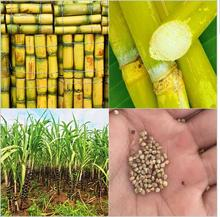 100pcs Vegetable and fruits seeds Sugar cane seeds Are rich in sugar sugarcane seed Bonsai plants Seeds for home & garden(China)