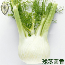 Cumin Fennel Seed Rootstock Fennel Fresh And Crisp Seasons Sown Garden Terrace Vegetable Seeds 100 Seeds