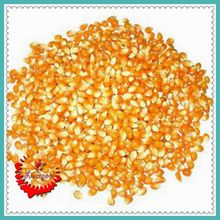 Low Budget DIY Backyard 30 Popcorn seeds GMO Free fragrant B045
