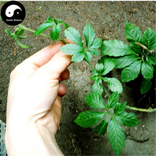Buy Real Gynostemma Seeds 400pcs 2017 NEW Plant Herb Jiaogulan Grow Medicine Herbs Gynostemma Pentaphyllum(China)