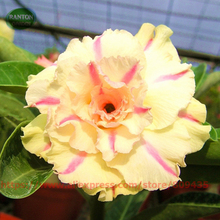TAIWAN YELLOW COLOR WITH PINK STRIP DESERT ROSE SEEDS ADENIUM OBESUM DESERT ROSE 5 SEEDS PER LOT BEAUTY FLOWER SEEDS