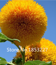 Teddy Bear Sun flowers seeds 50PCS Sun flower seeds Balcony Potted Plants Garden Bonsai Flower seeds Easy to plant Free shipping