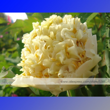 1 Professional Pack, 5 Seeds / Pack, Yellow Chinese Tree Peony Seeds ''China Peony Yao's Yellow - Yao Huang'' #NF316(China)