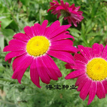 Gardenblooming Plants Virgo Annual Seeds Pyrethrum Potted Natural Insect Repellent Grass Mixed Color 100 Seeds
