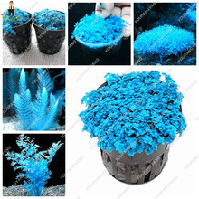 100 pcs/bag Blue aquarium plants seeds Mini Dwarf Pearl Plants Aquarium Grass Seed Fish Tank Ornamental Aquatic Water Grass Pot(China)
