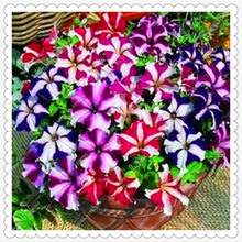 200 seeds/pack Cheap petunia seeds, perennial potted petunia flower seeds,bonsai plants seed for home garden(China)