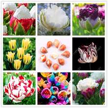 True tulip bulbs, bonsai flower bulbs,outdoor plant bulbs tulips, Natural growth,bonsai pot Bulbous Root for home garden 2 pcs