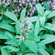 400 Sage Herb Seeds Great Medical Herb Plants Fast Growing DIY Home Herb Garden Plant