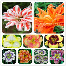 Free Shipping New 100 Pcs/Bag Fresh Rare Hybrid Daylily Flowers Seeds Hemerocallis Lily Indoor Bonsai Home Garden Supplies