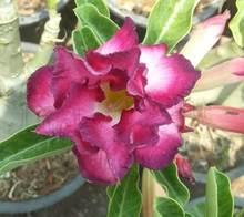 20 Fresh Seeds Adenium Obesum Desert Rose Bonsai Seeds Succulent Thailand Lucky Plant no145 Double Supper Magenta