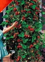 new product strawberry seeds  100 seeds/pack