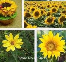 Garden Plant Sunflower seeds, flower seeds, indoor planting seasons free shipping,about 100 particles Bonsai Seed