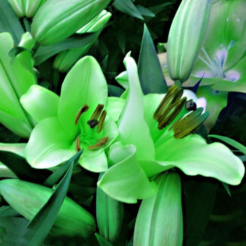 Сорт зеленой лилии