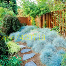 100 pcs Blue Fescue Grass Seeds - (Festuca glauca) perennial hardy ornamental BLUE color flower for ornamental-plant(China)