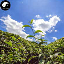 Buy Wuyi Oolong Tea Tree Seeds 60pcs Plant Wu Yi Yan Cha For Da Hong Pao(China)