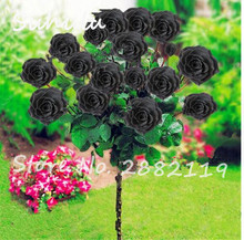 100 Pcs Rare Black Rose Seeds Drawf Tree rose Seeds Fresh Exotic Osiria Rose Hybrid Rose Seeds fragrant home garden decoration