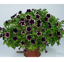100PCS Cascadia Rim Magenta Petunia Dark Purple Blooms With a Cream Edge Flower Seeds For Home Bonsai Plants for Decoration