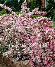 100 Pcs Rare Weigelia Seeds Pink Flower Shrub Tree Seeds Bonsai Tropical Ornamental Plants, Natural Growth, Flower Pots Planters