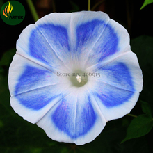 Imported 'Blue Fans' Blue White Morning Glory Seeds, 10 Seeds, very beautiful annual flowers E3524