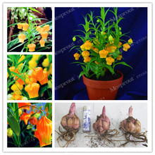 2 Bulbs 100% True LanternLily Bulbs (Not Lily Seeds) Flower Indoor Plant Radiation Absorption Natural Growth Bonsai Flower