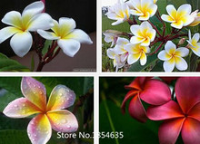 Garden Plant 200PCS/BAG Plumeria ( Frangipani, Hawaiian Lei Flower ) Seeds, Rare Exotic Flower Seeds Bonsai Seed