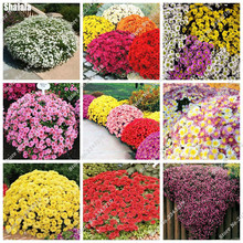 50 PCS Ground-cover Chrysanthemum Flower Seeds,Ornamental Bonsai, Rare Color, New Choose More Chrysanthemum Seeds Garden Flower(China)