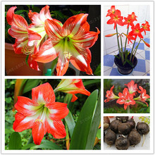 Buy 2 Bulbs Amaryllis Bulbs True Orange Hippeastrum Bulbs Flowers (Not Seeds),Barbados Lily Potted Home Garden Balcony Plant Bulbous for $1.40 in AliExpress store