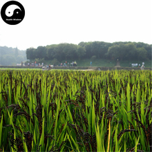 Buy Black Rice Seeds 600pcs Plant Grain Oryza Sativa For Food Paddy(China)