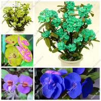 Import-Bonsai-Seeds-Pretty-Thorns-Seeds-Graptopetalum-Rusbyi-Garden-Rare-Flower-Plants-The-Germination-Rate-95.jpg_200x200