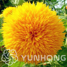 Sunflower Teddy Bear 20 pcs Sunflower seeds Giant Teddy Bear flower seeds home garden plant seeds cute Fat Plush Kawaii