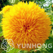 Sunflower Teddy Bear 20 pcs Sunflower seeds Giant Teddy Bear flower seeds home garden plant seeds cute Fat Plush Kawaii(China)