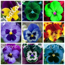Free Shipping 10 Pcs Exotic Seeds Pansy Seeds Mix Color Bonsai Flower Seeds DIY Home Garden Potted Or Yard Ornamental Plants