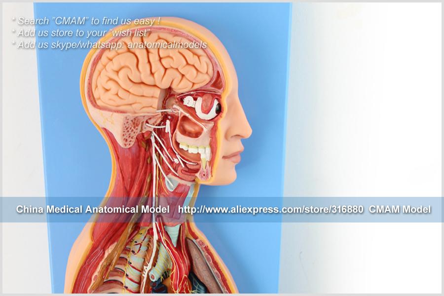 CMAM-TM65081 Sympathetic Nervous System 14