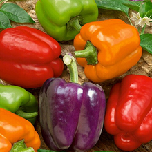 Organic Rainbow Mix Pepper 150 Seeds  Each color has its own distinctive flavor