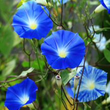 A Package 60 Pieces Seeds Blue Morning Glory Seeds Balcony Bonsai Flower Ipomoea Nil Flowers for DIY Home & garden
