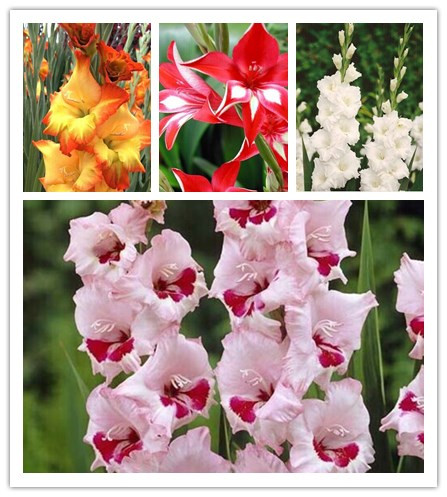 free ship 20seeds Gladiolus seeds, gladiolus flower seeds, 95% germination, DIY Aerobic potted plants, rare sword lily seeds,(China (Mainland))