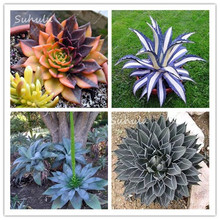 Big sale!100 Pcs Agave Seeds Rare Succulent Seeds Bonsai Flowers Agave Americana Potted Succulent Plants Diy Garden Plants yy(China)