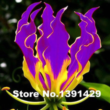 A Package 50 Pieces Garland Flame Lilium brownii Flower Seeds Balcony Bonsai Courtyard Plant Flowers Lily Seeds
