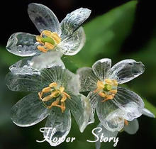 100 Transparent Flower Seeds Delicate DIY Garden Flower The petals turn transparent with the rain Amazing Free Shipping
