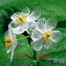 100pcs Transparent Flower Seeds Delicate DIY Garden Flower The petals turn transparent with the rain Amazing for home garden