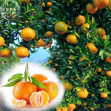 BELLFARM Orange Mandarin Citrus Fruit Seeds, 20 seeds, professional pack, tasty juicy sweet home garden tree(China)
