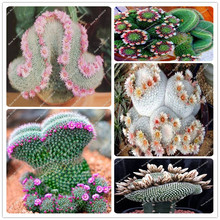 100 seeds a bag rare cacti succulents semillas de plantas de flores cactus growing cactus seeds diy bonsai home & garden