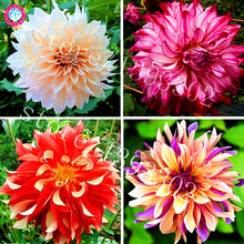 100PCS Perennial Flowers Seeds Vary Colors Dahlias Seeds Gorgeous Flower Balcony Potted Plant For Home Garden Decoration(China)