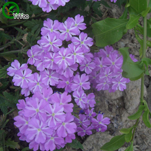 Purple Verbena seeds  Bonsai Flower for Indoor Rooms Seed 50 Particles / lot  W005