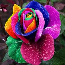 Amazing fower!  200PCS Colorful Rainbow Rose Flower Seeds Home Yard Garden Plant Decor